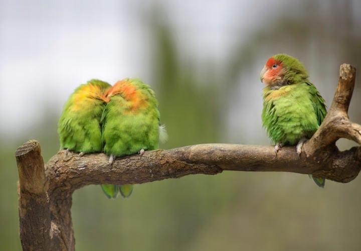 Three lovebirds on a branch