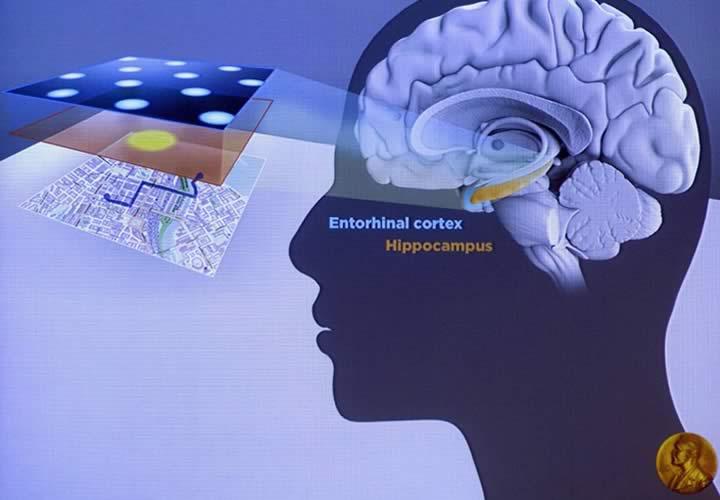 Las neuronas GPS del cerebro: nos ubican y evitan perdernos.