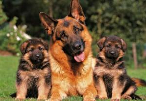 Razas-perros