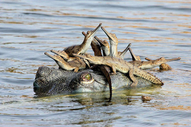 amor-cocodrilo
