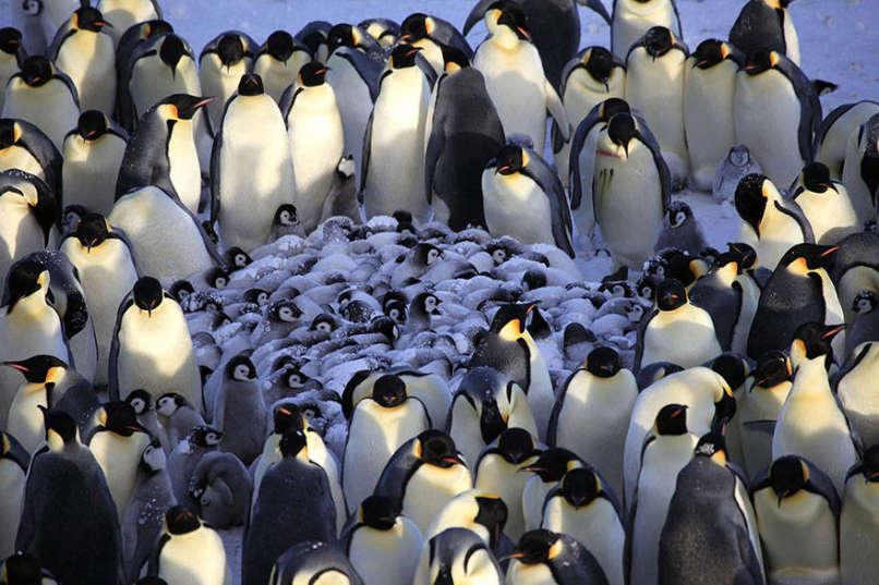 amor-pinguinos