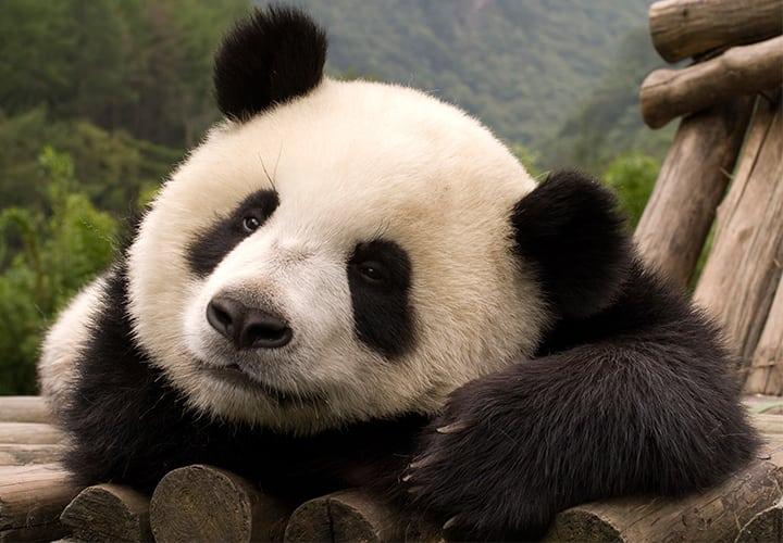 el-paraiso-de-flojera-panda