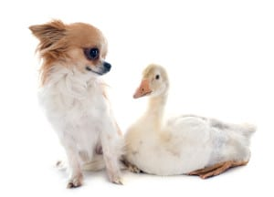 young gosling and chihuahua in front of white background