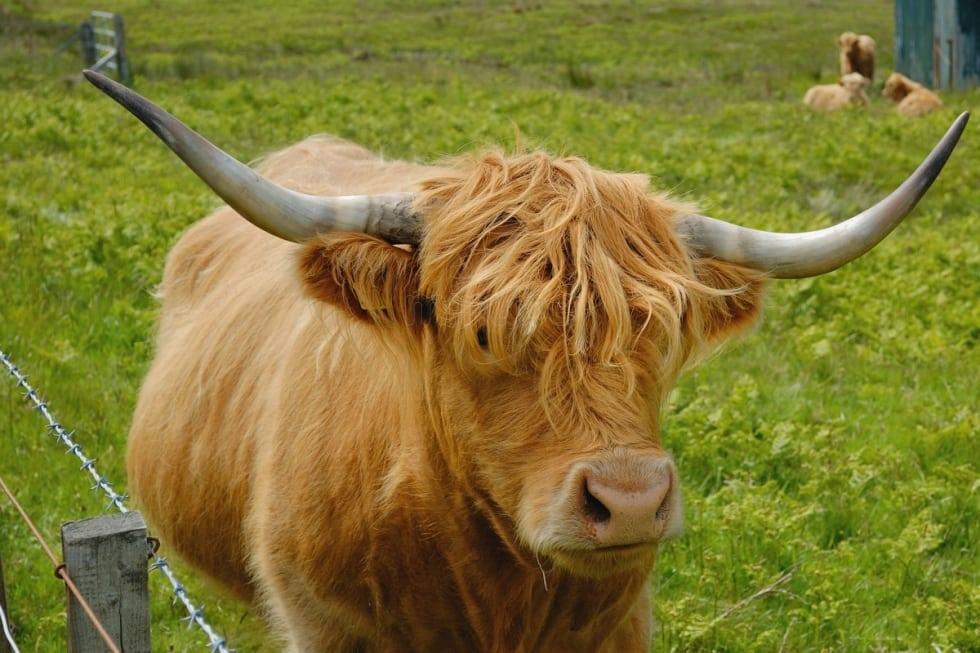 highland-cows-vacas-escocesas_459961