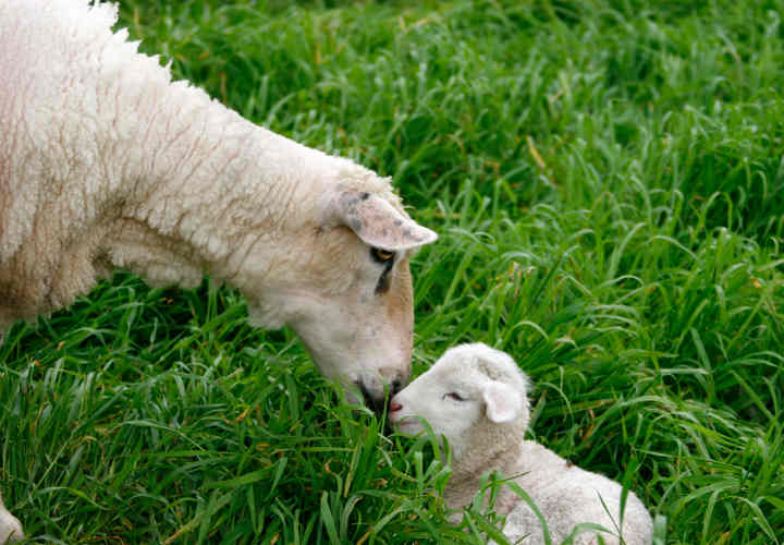 Sheep attending to her new born lamb
