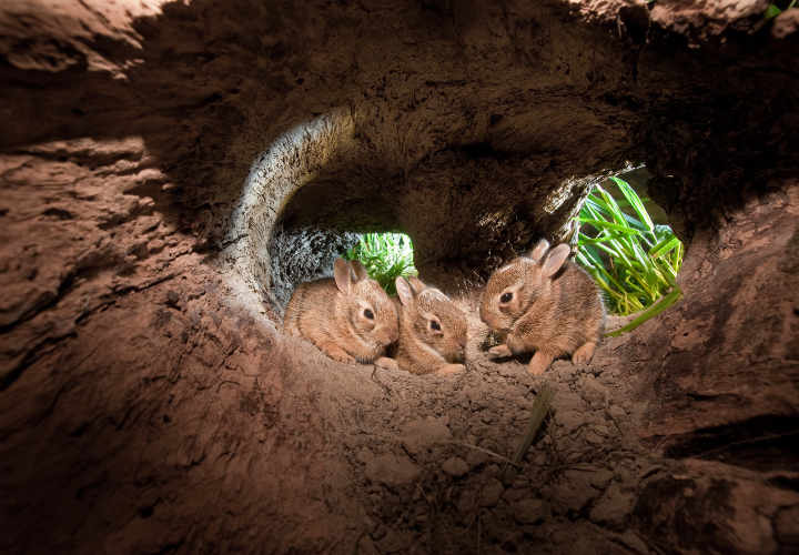 Baby Cottontail Rabbits, at home in their hollowed out log