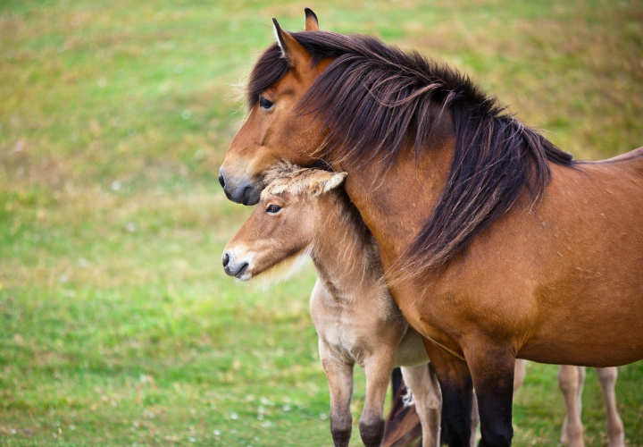 Brown Horse and Her Foal in a Green Field of Grass. Horizontal shot
