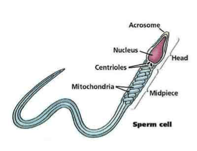 partes del espermatopzoide