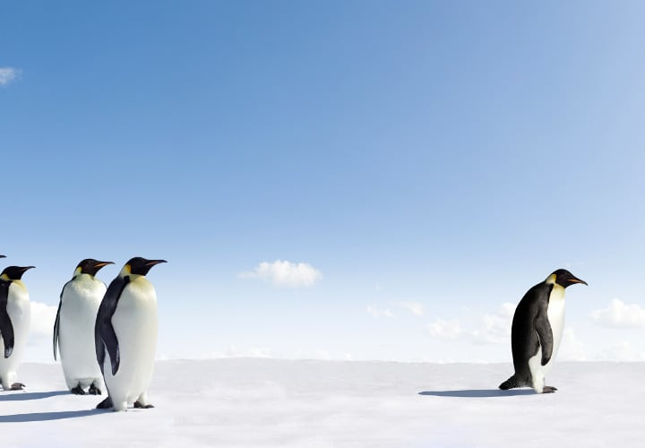 Emperor Penguin rejected by other Penguins