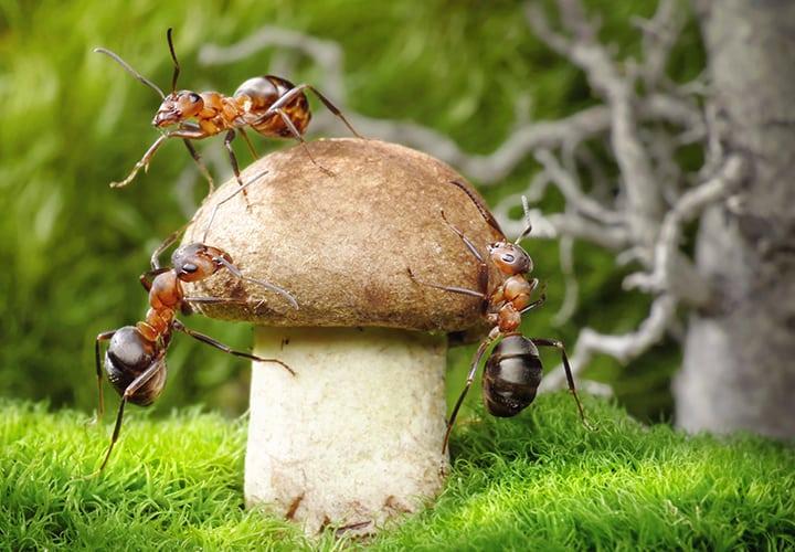 relacion-de-hormigas-y-hongos