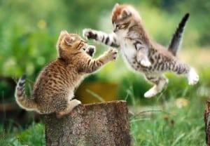 se ve unos gatos peleando