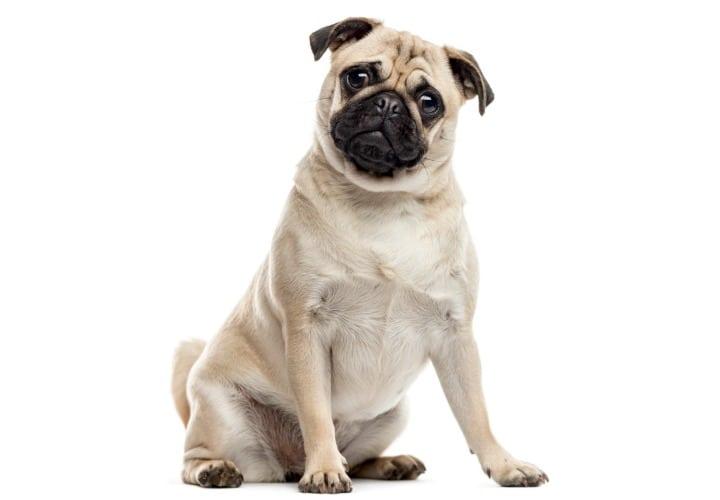 diabetes canina zootecnia